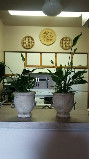 Peace Lilies for Sale in San Antonio, TX
