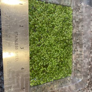 Duckweed - 2 Containers - Shipping Special - Indoor for Sale in City of Industry, CA