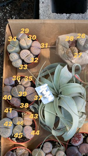 Lithops $15 for Sale in Modesto, CA