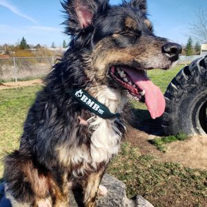 Heavy duty Dog Collars (L and XL) for Sale in Vancouver, WA