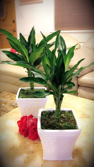 Dracaena - Indoor Plant - $12 each for Sale in Santa Ana, CA