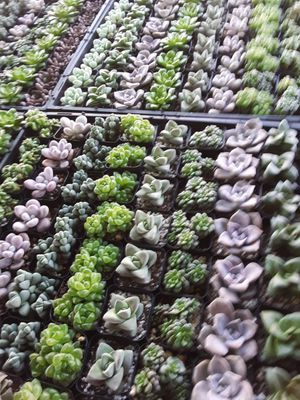 "2"" pots with succulent plants $1.50 each and $65 for tray of 64 plants for Sale in Whittier, CA"