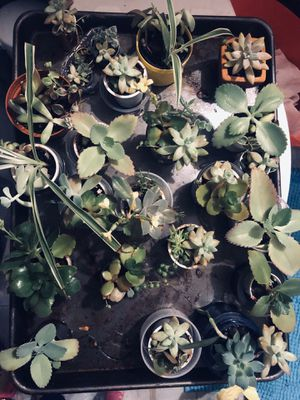Succulent starter plants only for Sale in Superior Charter Township, MI