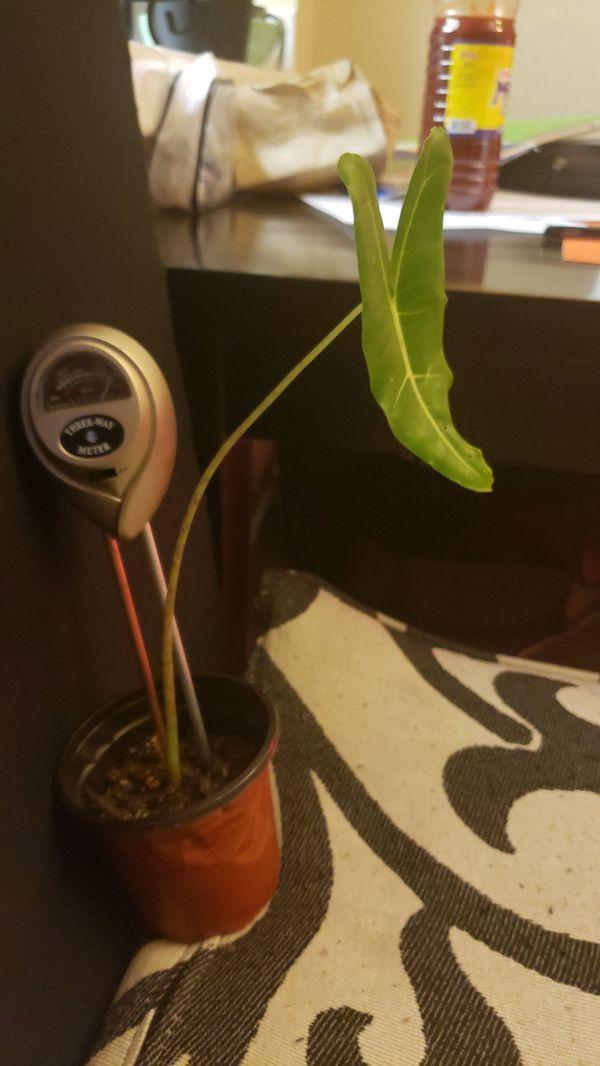 Alocasia Sarians - rare plant
