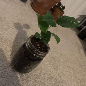Houseplant  for Sale in Reston, VA