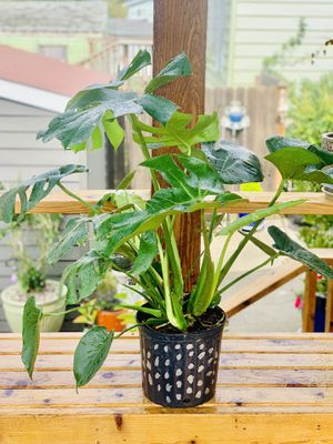 Live indoor Philodendron Monstera Deliciosa house plant in a temporary planter flower pot—firm price for Sale in Seattle, WA