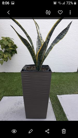 "Sansiveria plant pot incluye 18"" for Sale in Hialeah, FL"