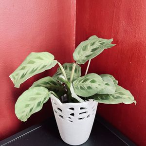 Prayer plant in lovely white pot with intricate design  for Sale in Norfolk, VA
