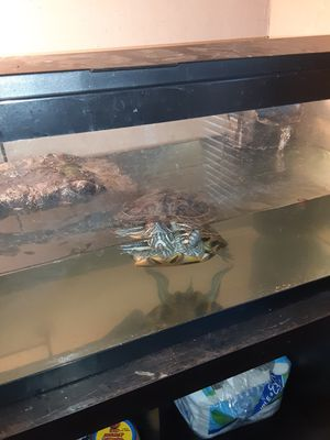 20 gallon tank with Turtle for Sale in Los Angeles, CA