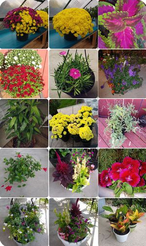 Plants available for sale October17 from11am-4pm and October18 from 11-2 Read in description please. for Sale in St. Louis, MO