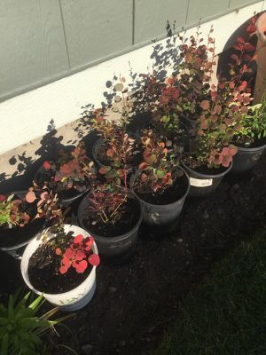 Barberry for sale for Sale in Tacoma, WA