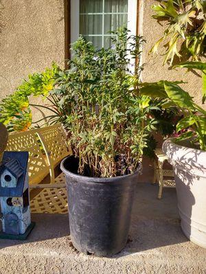 Arnica for Sale in Bakersfield, CA