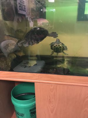 2 turtles, tank and turtle accessories for Sale in Davenport, IA