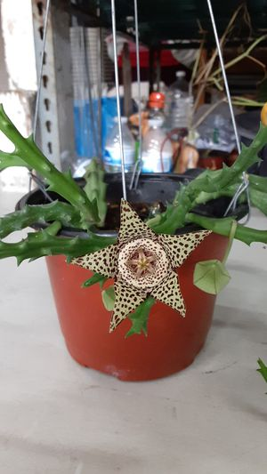 Stapelia (star flower) for Sale in Hazard, CA