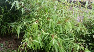 Clumping bamboo 'rufa' for Sale in Clinton, MD