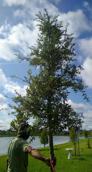 Live oak for Sale in Kissimmee, FL