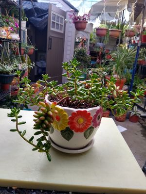SUCCULENT PLANT for Sale in Paramount, CA