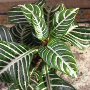 """Zebrina Plant In 8"""" Cement Pot for Sale in Kent, WA"""