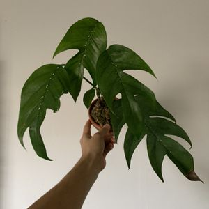 MATURE Epipremnum Pinnatum Plant for Sale in San Antonio, TX