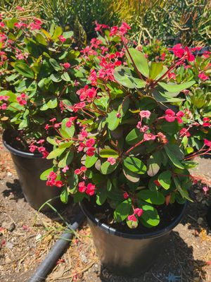 Crown of thorns for Sale in Ontario, CA