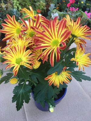Mom plant for Sale in Sacramento, CA