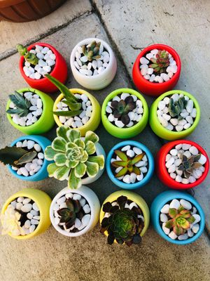 Succulent Plant for Sale in Riverside, CA
