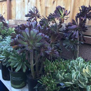Beautiful Succulent On Sale 10 Usd for Sale in Garden Grove, CA
