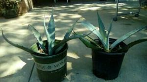 Agave magueyes for Sale in Dallas, TX