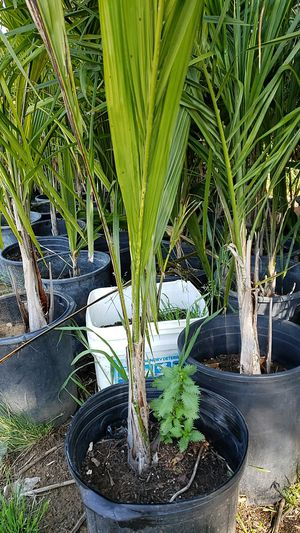 Queen Palm Trees for Sale in Orange Cove, CA