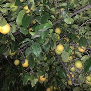 Lemons/limon for Sale in Claremont, CA