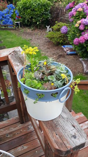 Blue and Ivory Bucket Full of Succulents Plant Arrangement for Sale in Sumner, WA