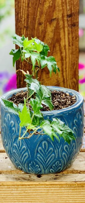 Live indoor Hedera Ivy house plant in a textured ceramic planter flower pot—firm price for Sale in Seattle, WA