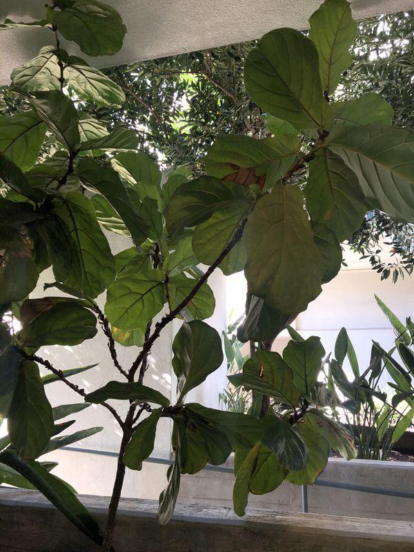 Fiddle Figs