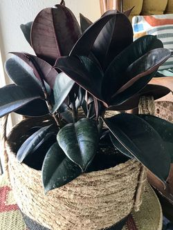 Ficus Elastica Burgundy / Rubber Plant & Basket for Sale in Los Angeles,  CA