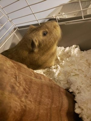 Boy Guiena Pig and accessories for Sale in Scotch Plains, NJ