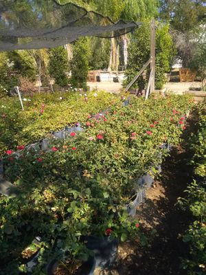 5gallon Roses available 3 colors to choose from for Sale in Riverton, VA