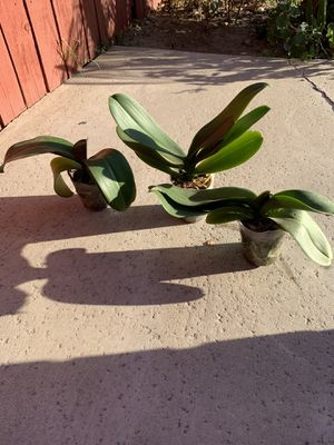 MATURE ORCHIDS $12 EACH plants plant indoor outdoor garden gardening fall autumn Halloween thanksgiving succulent cacti cute design women's ART HOME for Sale in Los Angeles, CA