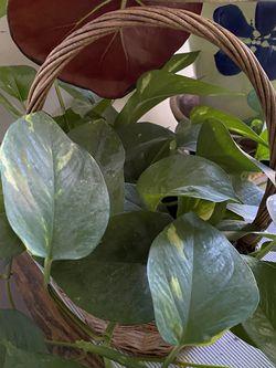 Live Plant Golden Pothos In Basket for Sale in Herndon,  VA
