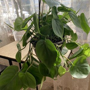 Heartleaf Philodendron for Sale in Federal Way, WA