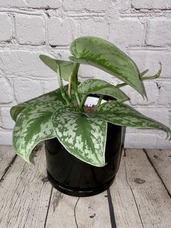 """Scindapsus Pictus """"Exotica"""" (Satin Pothos) in 4"""" Glossy Black Pot with Saucer for Sale in Los Angeles,  CA"""