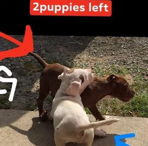 Puppies for sale for Sale in Montgomery, AL