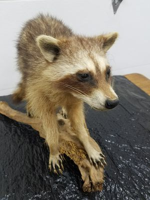 Racoon mount on limb for Sale in Sumner, WA