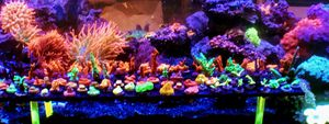 Setosa Coral Frags for Sale in Hialeah, FL