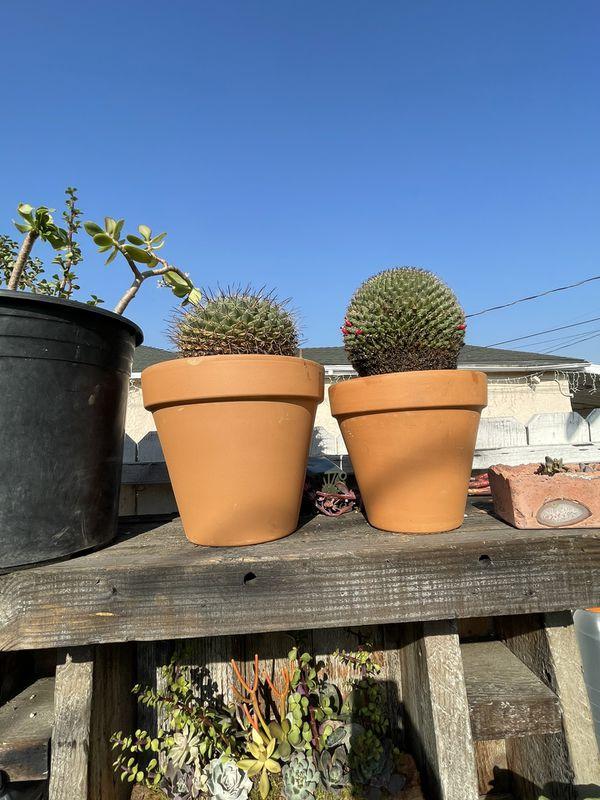 Cactus Mammillaria House Plant