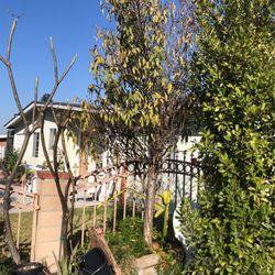 Almond Tree for Sale in Glendora,  CA