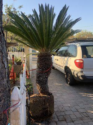 Sego palma La tenía yo en maceta pero se quebró necesita plantarse en el suelo for Sale in Orange, CA