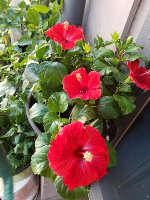 Hibiscus for Sale in Houston, TX