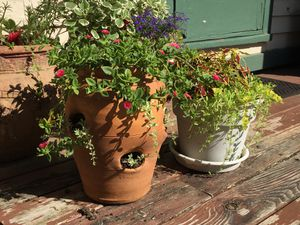 "Pink Flower Succulent (plant is in 4.25"" diameter pot) for Sale in Homer Glen, IL"