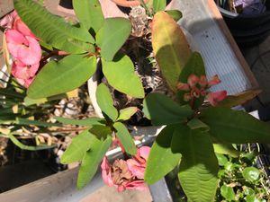 Crown of Thorns/Euphorbia Milii/Corona de Cristo Live Plant for Sale in Etiwanda, CA