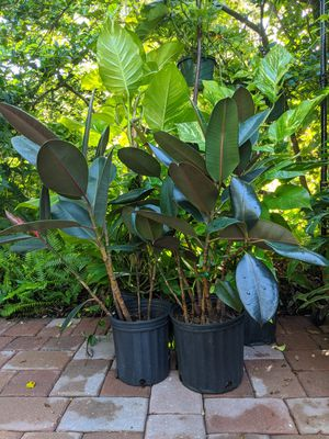 """Focus burgundy rubber plant 8"""" and 10"""" pots for Sale in Orlando, FL"""